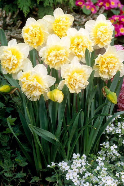 Narcissus Double Ice King Bulbs 5-pack