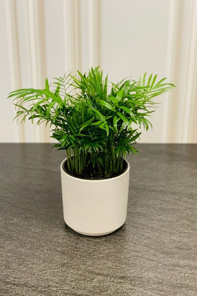 Neanthe Bella Palm 6""