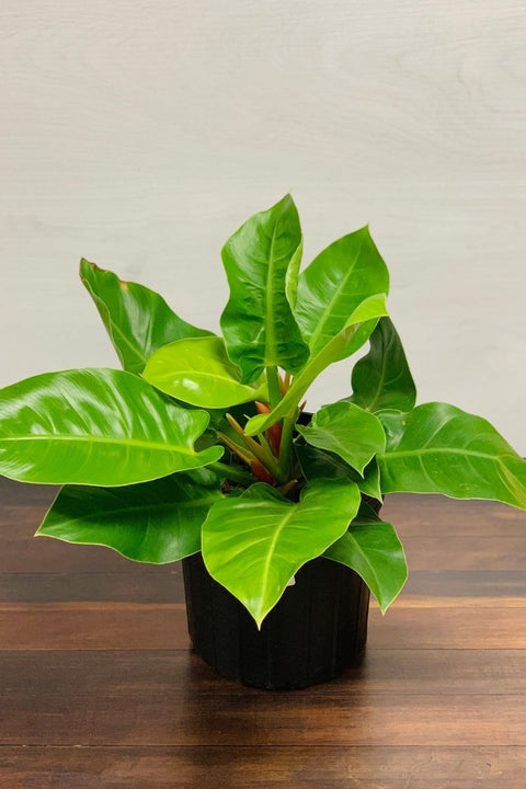 Moonlight Philodendron 10""