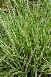Grass, Feather Variegated Reed