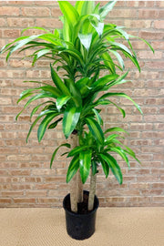 Mass Cane, Variegated Corn Plant 10""