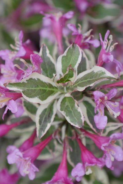 Weigela, My Monet Purple Effect