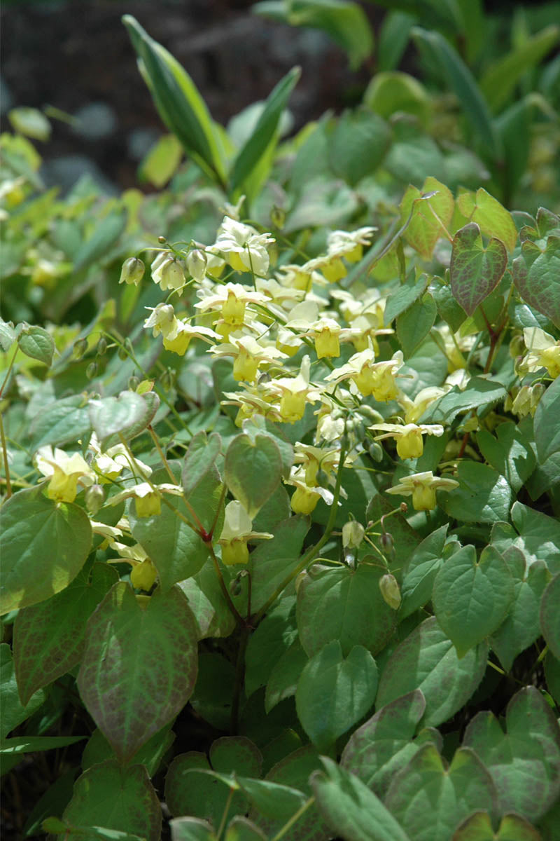 Barrenwort, Yellow