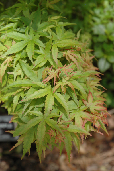 Japanese Maple, Sharps Pygmy