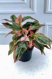 Chinese Evergreen, Siam Ruby