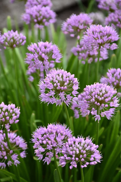 Allium, Summer Beauty Ornamental Chives
