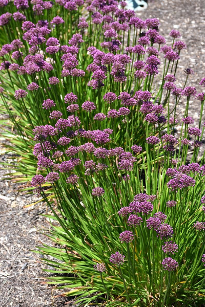 Ornamental Onion, Windy City