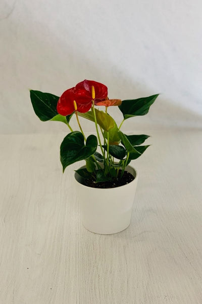 Anthurium, Red 4""