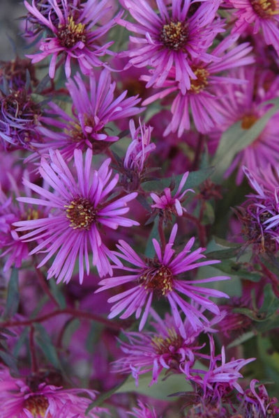 Aster, Woods Pink