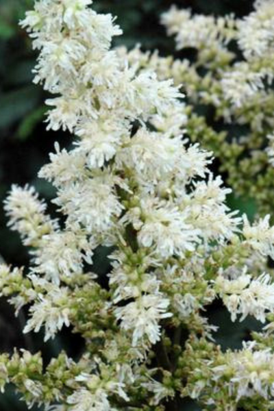 Astilbe, Visions in White