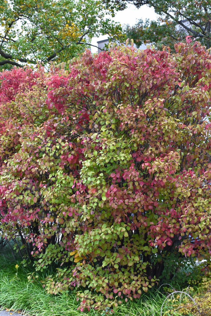 Viburnum, Autumn Jazz