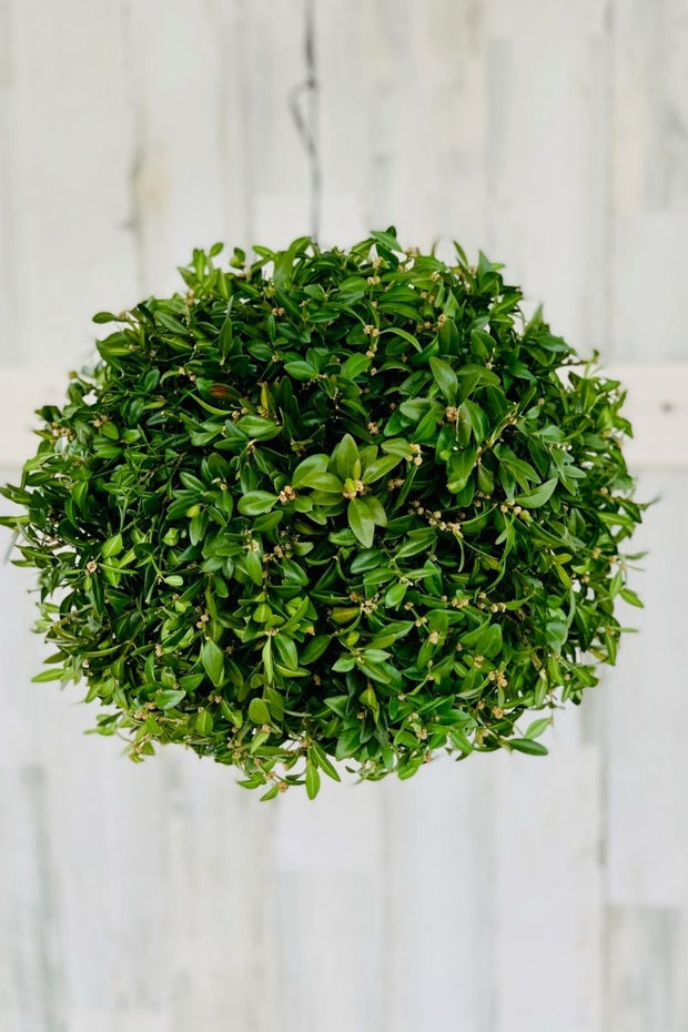 Kissing Ball, Boxwood