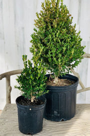 Boxwood, Green Velvet