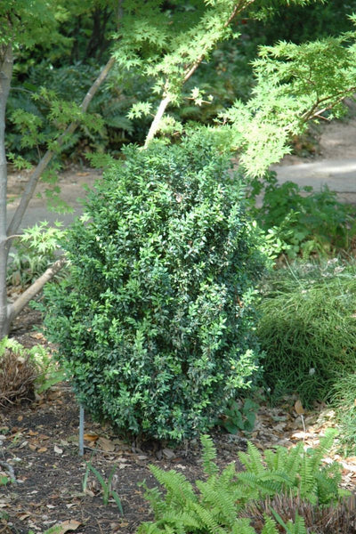 Boxwood, Julia Jane