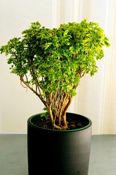 Golden Ming Aralia Variegated 6""