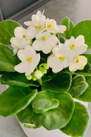African Violet, White 4""
