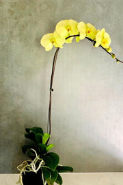 Phalaenopsis Orchid Green Beauty 1 Spike