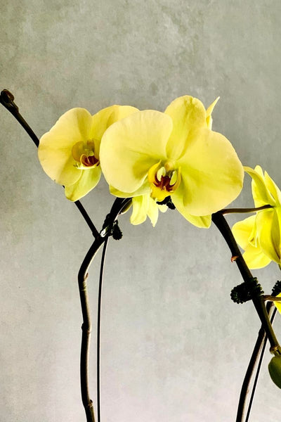 Phalaenopsis Orchid Green Beauty 2 Spikes