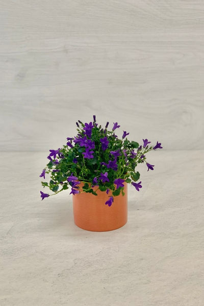 Campanula, Hybrid Bellflower Purple 4""
