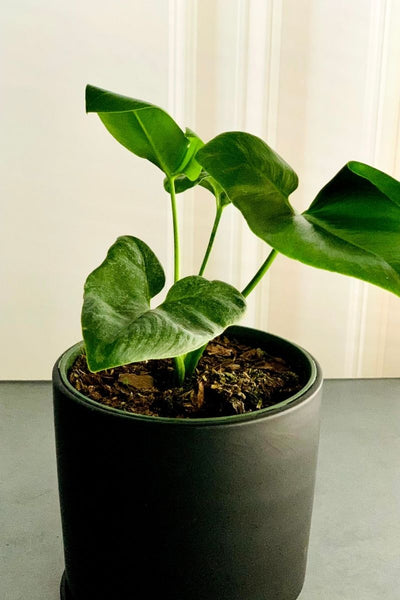 Finger Leaf Philodendron 6""