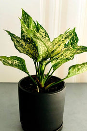 White Dalmatian Chinese Evergreen