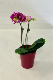 Phalaenopsis Orchid Happy Girl 2-stem
