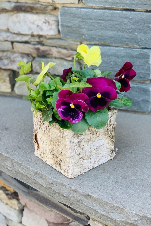 Chalet Signature | Spring | Pansy & Ivy Birch Box 5""
