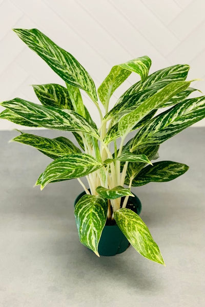 Golden Madonna Chinese Evergreen 6""
