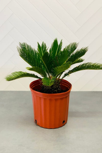 King Palm, Sago 10""
