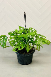 Philodendron, Swiss Cheese Hanging Basket 8""