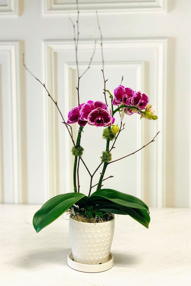 Chalet Signature | Indoor | Purple Orchid with White Pot 4.5""