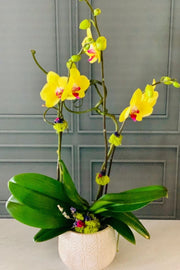 Chalet Signature | Indoor | Spring Yellow Orchid Collection