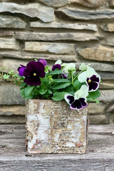 Chalet Signature | Spring | Pansy Birch Box 6""
