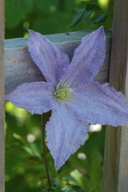 Clematis, Blue Angel