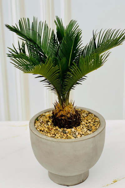 Potted Sago Palm