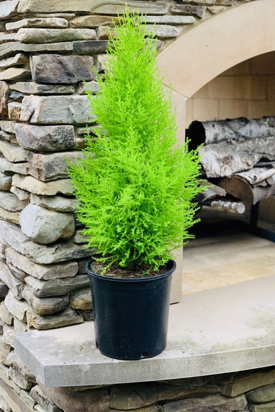 Lemon Cypress Tree