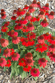 Coneflower, Sombrero® Salsa Red