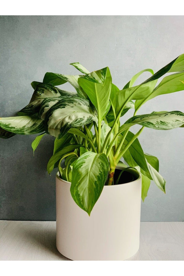 Chinese Evergreen, Silver Bay 12""