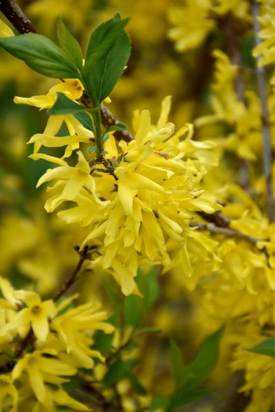 Forsythia, New Hampshire Gold