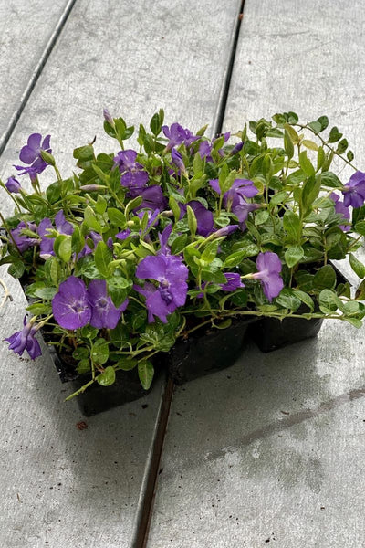 Vinca, Periwinkle Groundcover 6 pack