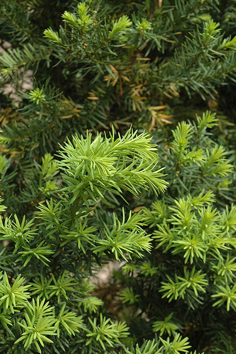 hicks yew foliage