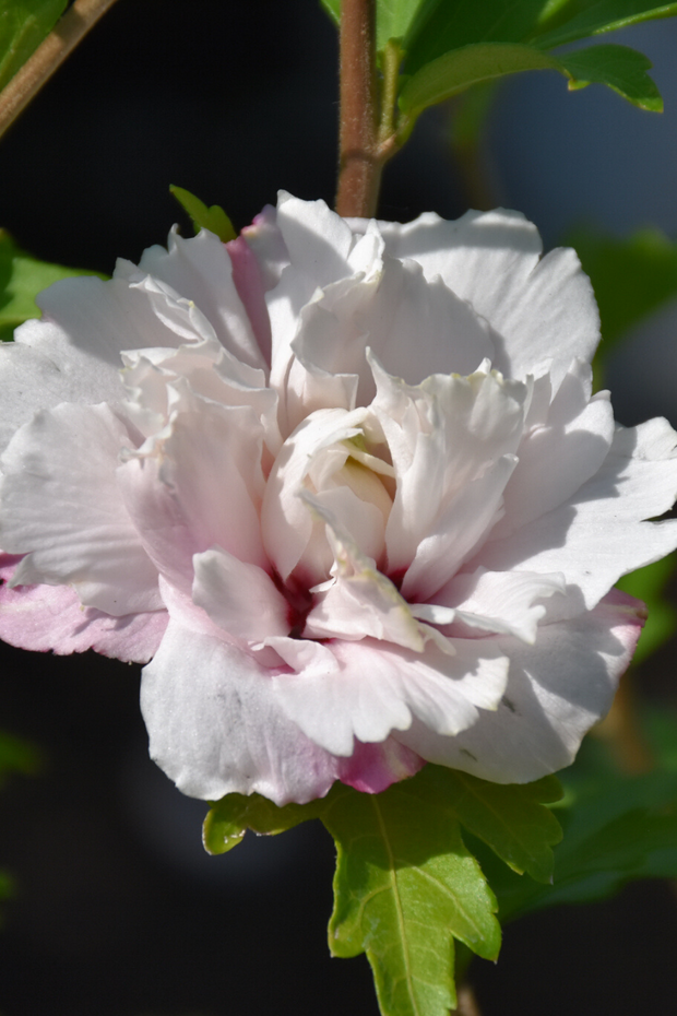 Rose of Sharon, French Cabaret Blush