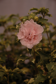 Rose of Sharon, Sugar Tip