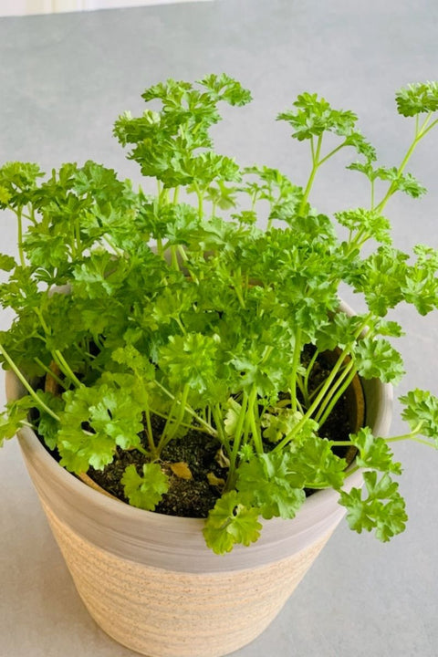 Organic Curly Parsley 4""