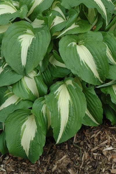 Hosta, Night Before Christmas