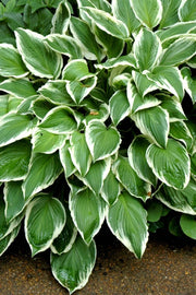 Hosta, So Sweet