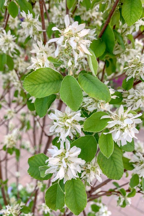 Serviceberry, Standing Ovation