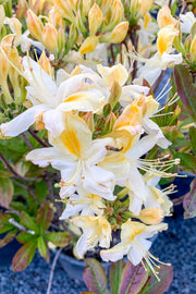 Azalea, Northern Hi-Lights