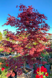 Japanese Maple, Bloodgood