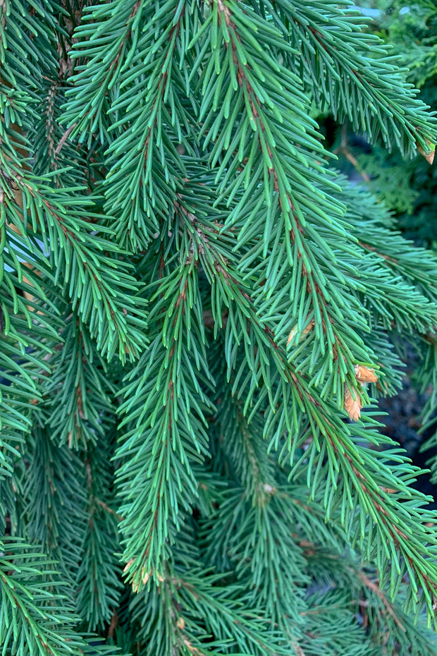 Spruce, Weeping Norway
